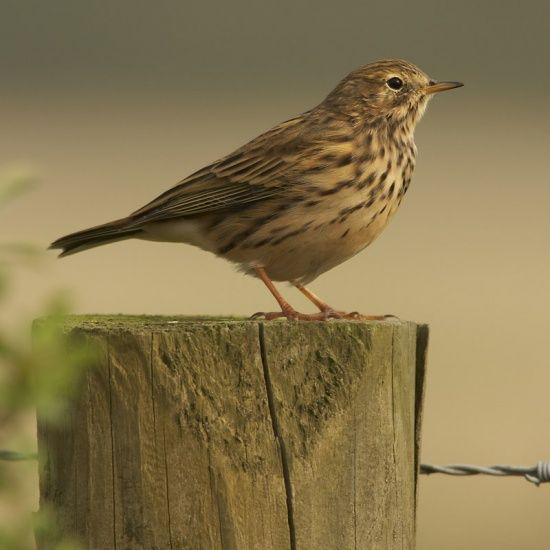 Our namesake, the Pipit!