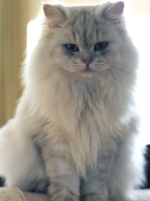 The Life of Animals  | British Longhair | The coat is lutstrous  and Physique is stout in general. The head is round, with bright cir...
