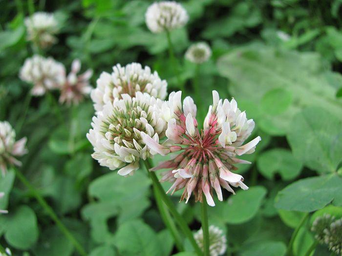 Jetel plazivý - Trifolium repens - bobovité