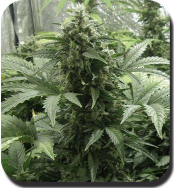 White Dwarf Feminised Cannabis Seeds
