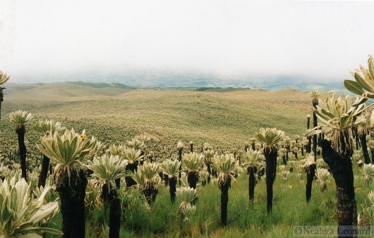 Image result for frailejón plant