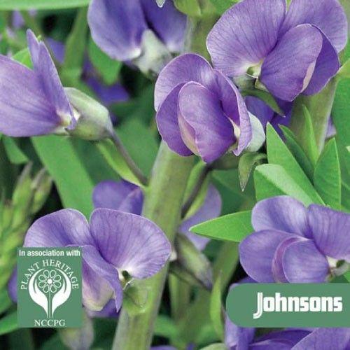 En torka tolerant perenn med livfulla blommorBildar täta klumpar av attraktiva bladverk och producerar vippor av intensiva indigo blå blommor som följs av vackra, uppblåsta frökapslar. Tål torra jordar och gör ett bra snittblomma. [28,00kr]
