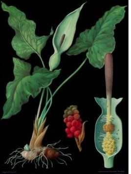 Arum maculatum, flower, spadix, and berries, one of a series of botanical and zoological scientific wall charts from the educational media company Hagemann, designed by the firm Jung-Koch-Quentell.