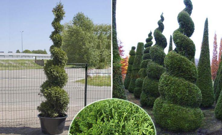 best 25 thuja smaragd ideas on pinterest thuja occidentalis smaragd thuja and thuja occidentalis. Black Bedroom Furniture Sets. Home Design Ideas