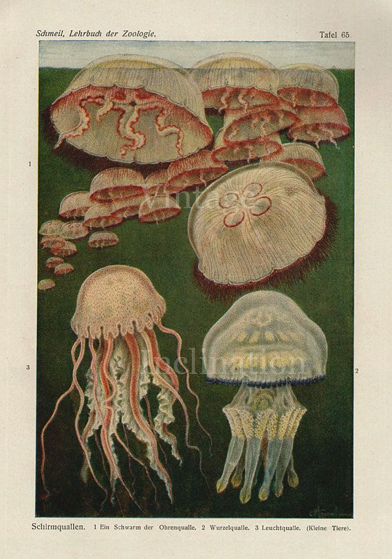 Antique Print 1922 Marine Life Chart by VintageInclination on Etsy