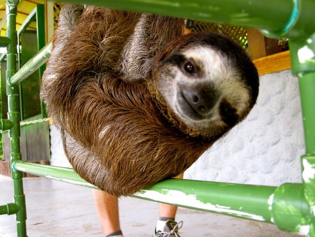 Look at this baby sloth, Cory.   An Inside Look At What It's Like To Be Surrounded BySloths