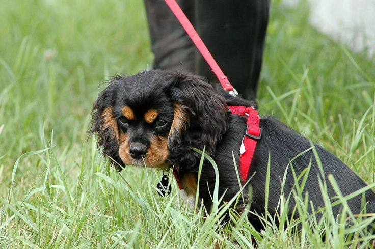 Puppy at a RI Horse Show  by Steve Hopkins Photography