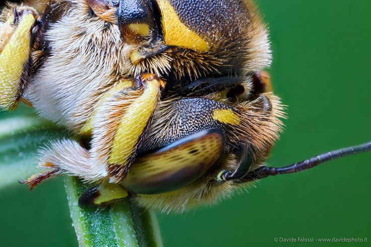 Anthidium florentinum...