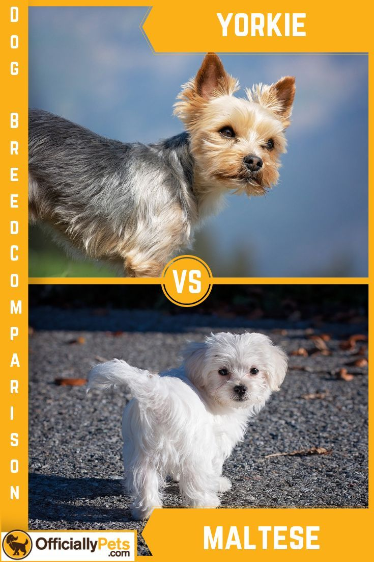 Yorkie Vs Maltese A Detailed Comparison Of Both Dog Breeds Dog