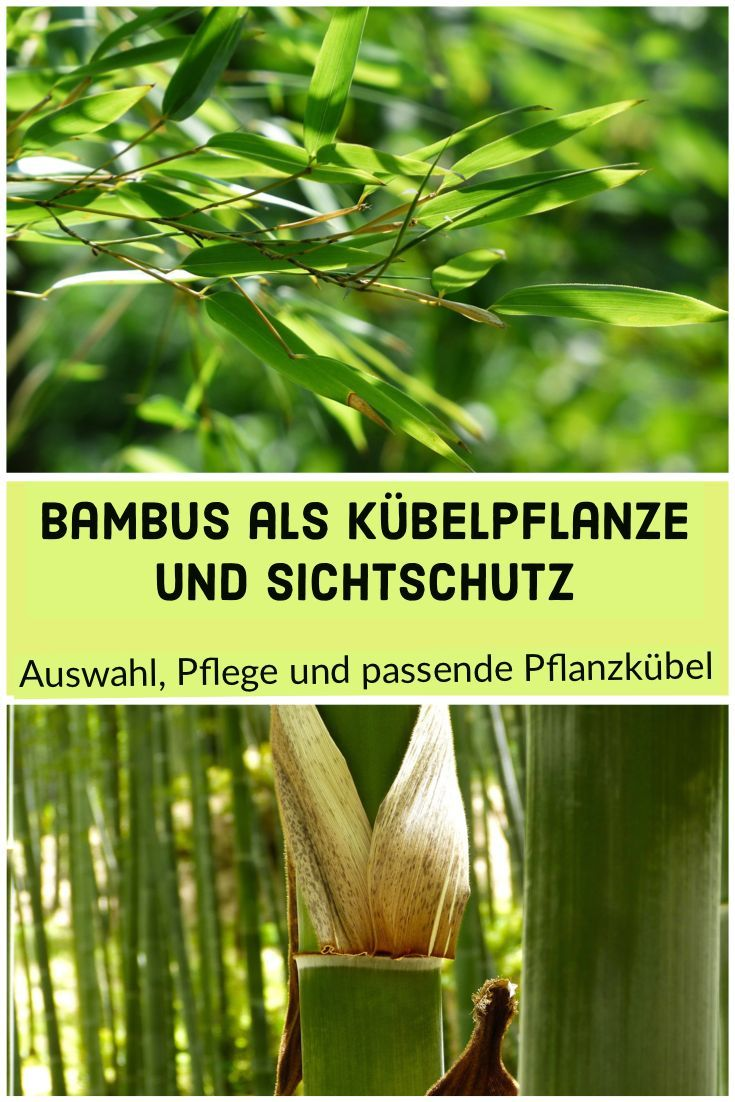 Bambus Als Kubelpflanze Und Sichtschutz Auswahl Pflege Und