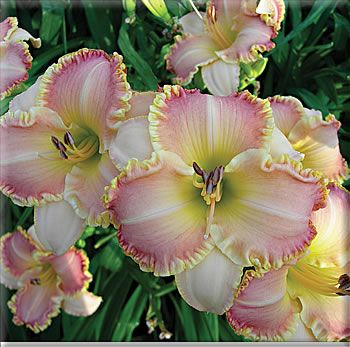 Keep on Lovin' - Pete Harry Daylilies... Daylilies Of Distinction