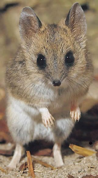 Kakadu dunnart (Sminthopsis bindi) is a dunnart that was described in 1994 and the closest relative is the Carpentarian dunnart. Its typical body length is 50-85mm long with a tail of 60-105mm for a total length of between 110-190mm, and a weight of between 10-25g, placing this species in the mid-range of the weight of dunnarts. Its colour is grey, gingery on the upper body and underbelly with white feet.
