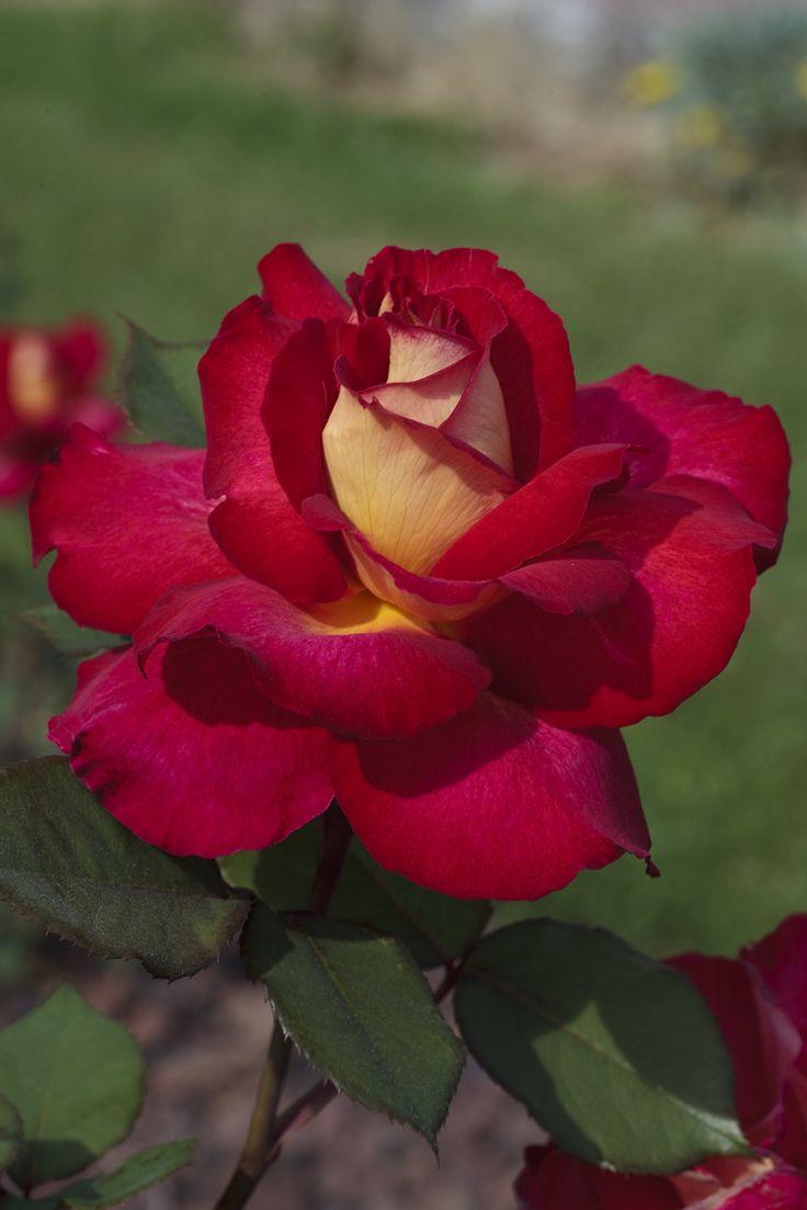 Rosal Bolshoi  http://www.jardineriakuka.com/rosales-de-flor-grande/7330-rosal-bolshoi.html