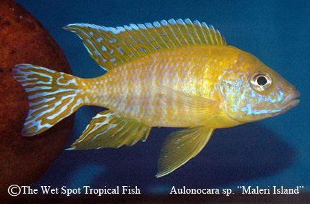 Aulonocara Sp Quot Maleri Quot Quot Maleri Island Quot Freshwater Fish