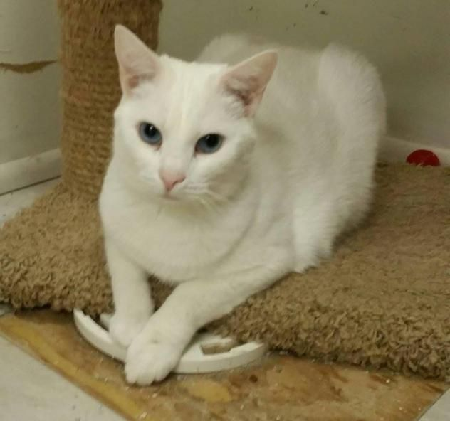 BUNNY BREAD is a male DSH cat available at Owensboro Humane Society, Owensboro,KY.