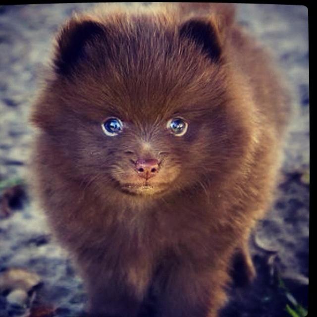 #cute  chocolate Pomeranian puppy