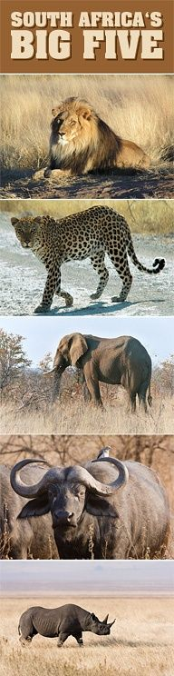 """""""The Big Five"""" of South Africa - Lion, Leopard, African elephant, Cape buffalo, Black rhinoceros. The phrase Big Five Game was coined by big game hunters and refers to the five most difficult animals in Africa to hunt on foot. #Safari #SouthAfrica #Wildlife"""