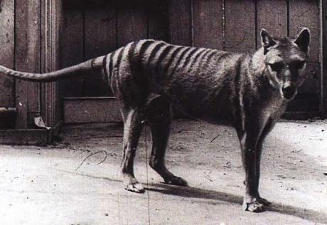 Tigre de Tasmanie (Thylacinus cynocephalus)Le thylacine1, appelé également loup marsupial, loup de Tasmanie ou encore tigre de TasmanieN 1, est un mammifère marsupial carnivore de la taille d'un loup, au pelage tigré. Depuis 1936, l'espèce est considérée comme éteinte.  Son nom scientifique est Thylacinus cynocephalus. Il appartient à la famille des thylacinidés.