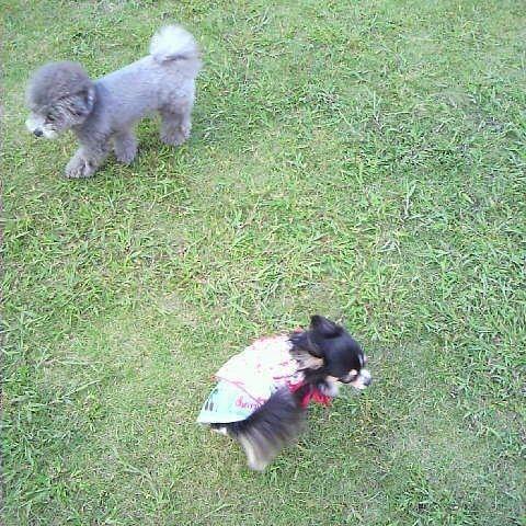 #dog#愛犬#pet#lovely#maron#癒し#チワワ#可愛イ#dogstagram#ブラックタン#ロングコートチワワ #dogstagram #親バカ部 #chihuahua#かわいすぎ#happy#cute#animals #dogs #baby