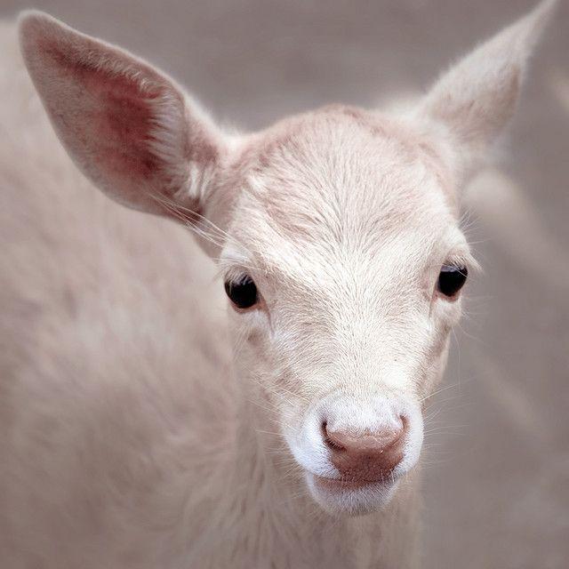 """baby """"Gamo Albino"""" @ Vigozoo, Madroa, Galicia. ( Spain, 2008 )"""