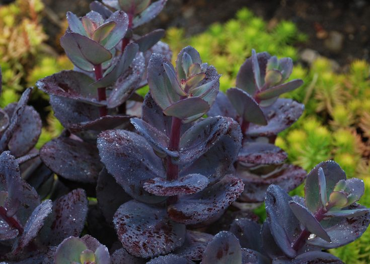 Monrovia S Sunsparkler Blue Pearl Sedum Details And Information Learn More About Plants Best Practices For Possible Plant Performance