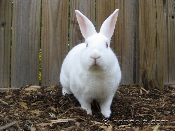 New Zealand White rabbit. Great meat rabbits, have a nice meat to bone ratio!.