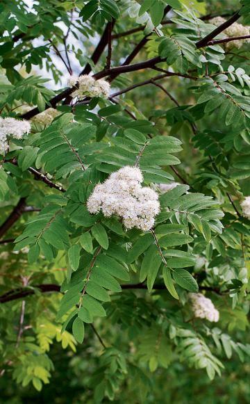 Der licht- und wärmeliebende Speierling erinnert aus der Ferne an eine Eberesche. In der freien Natur war die vor Jahrtausenden eingebürgerte Kulturpflanze fast ausgestorben. Der kleine Baum ist nicht nur für den Naturgarten eine echte Bereicherung.