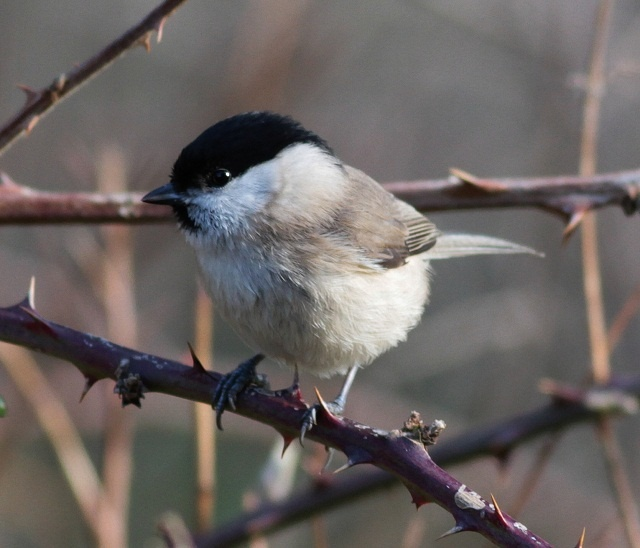 How to tell the difference between a Marsh and Willow Tit. Willow Tits have an all black bill.