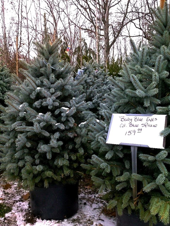 Christmas Trees Near Me Gallery Christmas Tree Plant Live Christmas Trees Christmas Tree Farm