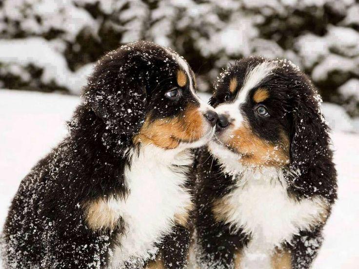 Berner Sennen pups