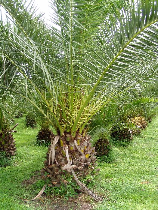 How to Trim Palm Trees - Tampa Florida