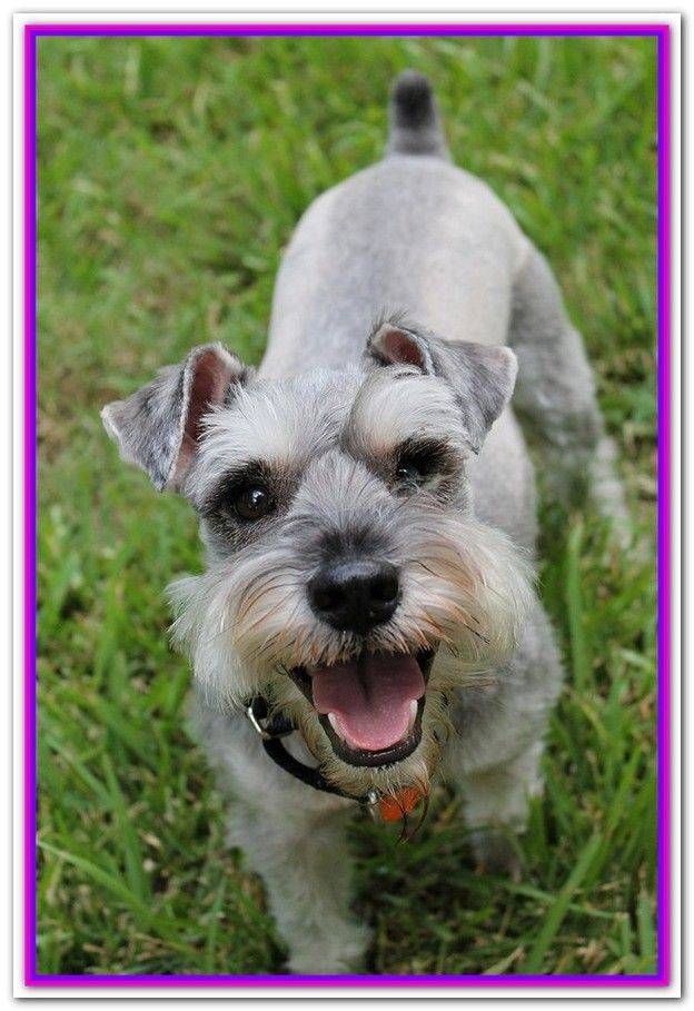 Best Dog Food For Schnauzer With