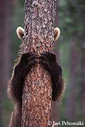 Ursus arctos - Brown Bear