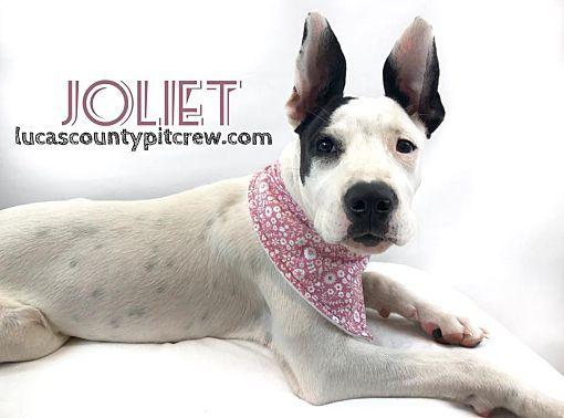 Toledo Oh English Springer Spaniel Meet Joliet A Dog For