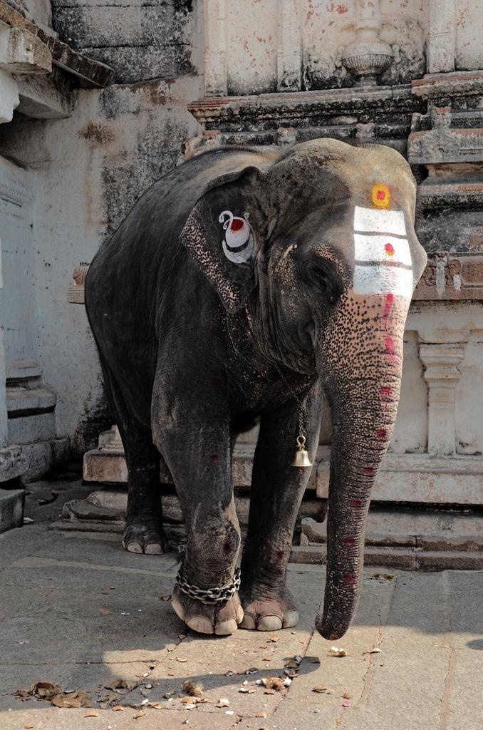 Lakshmi, The Temple Elephant at Virupaksha Temple, Hampi , India - Makes me sad to see the chains :(