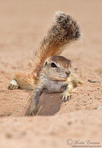 Providing my own shade   Ground Squirrel, Kgalagadi Transfro…   Flickr