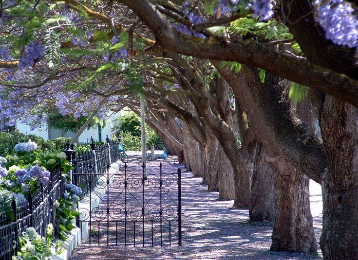 Jacaranda trees in the small town of Rawsonville
