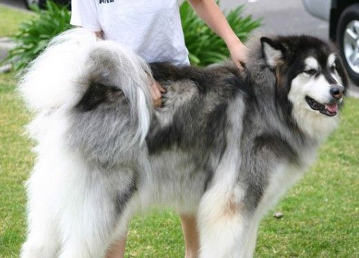 Top 10 Most Expensive Dog Breeds in India - Alaskan Malamute