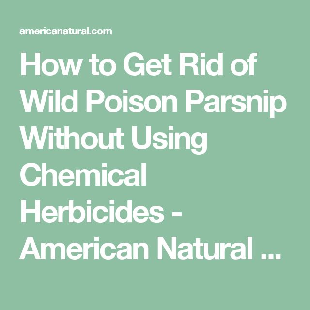 How to Get Rid of Wild Poison Parsnip Without Using Chemical Herbicides - American Natural Products BlogAmerican Natural Products  Blog