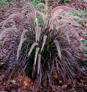 Ornamental grass 39 purple fountain grass rubrum for Ornamental grass with pink flowers