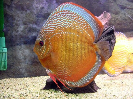 366 best discus fish images on pinterest discus fish for Best place to buy discus fish