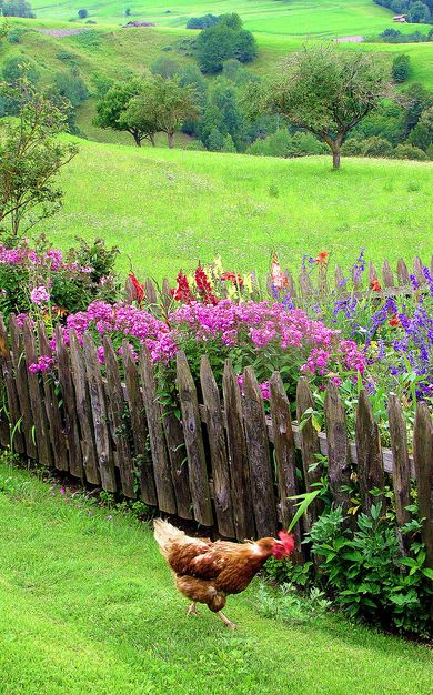 All of this - the grass, flowers, wood fence, rooster - is perfect. How soothing to have this for a view.