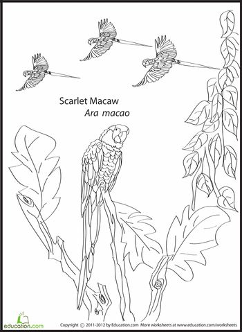 Scarlet macaw coloring page scarlet coloring pages and for Scarlet macaw coloring page