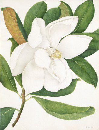 Magnolia Grandiflora, by A. Power (V&A Custom Print)