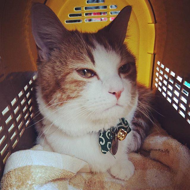 . . . 病院待ち中の顔w 長いから不貞腐れてるw . すぐるは膀胱炎でした。 レントゲン撮って結石がなかったから、ひとまず安心かな。 . 薬飲んで治まってくれたらいいんだけど…。 . 体重は2.9キロ! 全然増えてないから心配だって言ったら、全く問題なかったw . . #猫 #ねこ #愛猫 #マンチカン #短足マンチカン #短足猫 #短足 #レッドタビー #茶白 #茶トラ白 #癒し #すぐる #にゃんすたぐらむ #ねこのいる生活 #病院 #膀胱炎 #初めてのことで焦りまくり #cat #munchkin #kitten #shortlegs #redtabby #healing #suguru #love #lovely #cute #catstagram #picneko