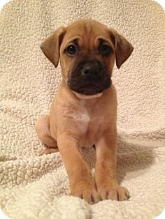 Boxer Retriever Labrador Mix