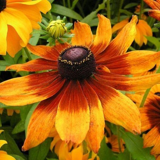 Gloriosa Daisy Seeds - Rudbeckia gloriosa