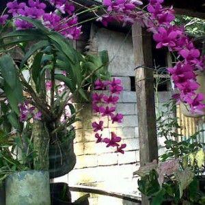 Foto Bunga Anggrek Warna Unggu