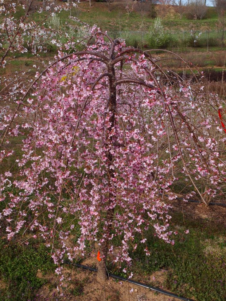 Prunus Pink Cascade You Ll Swoon Over The Long