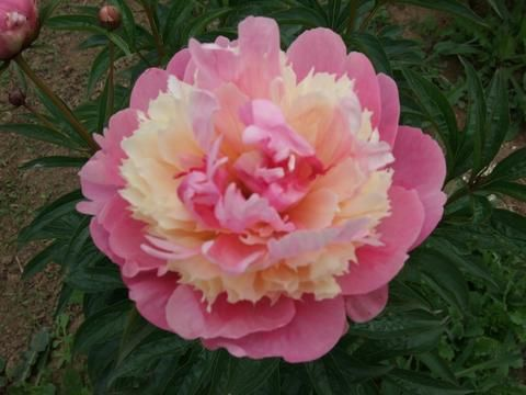Brooks Gardens Peonies — Sorbet Peony plants for sale